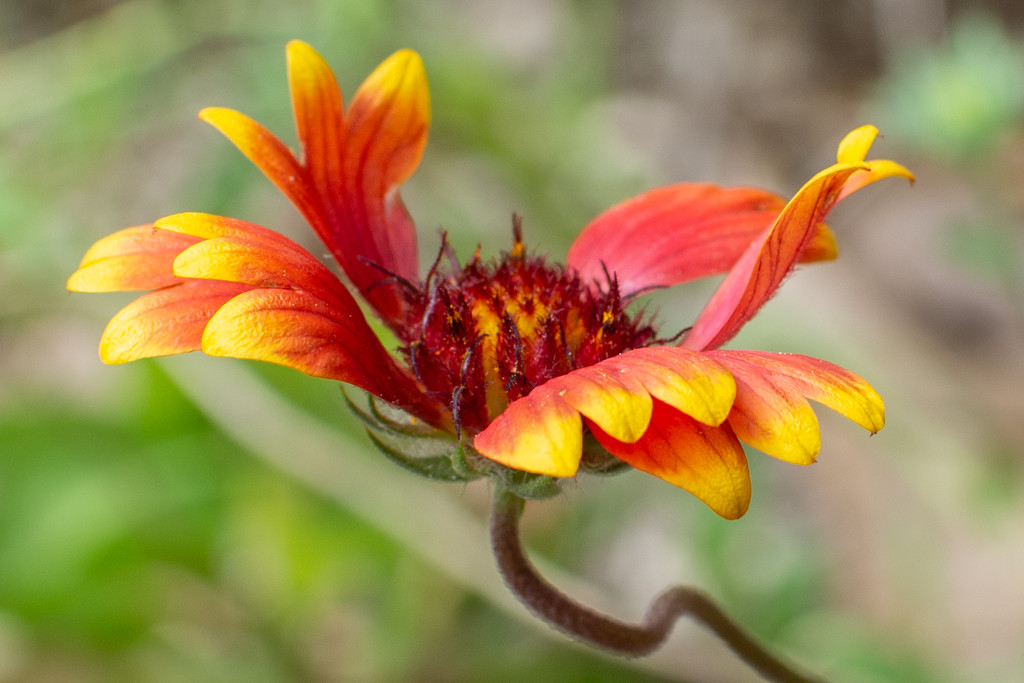 Wild flower, Coreopsis?? by thewatersphotos