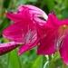LHG-9288- Crimson Lilies