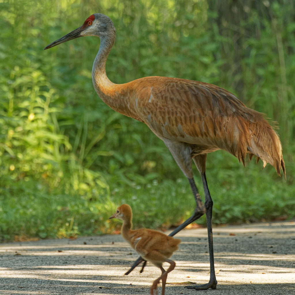 sandhill crane with colt by rminer