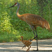 sandhill crane with colt
