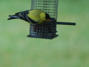 7th Jul 2020 - goldfinch