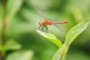 3rd Jul 2020 - dragonfly