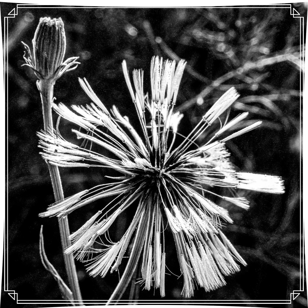 How About This Dandelion by milaniet