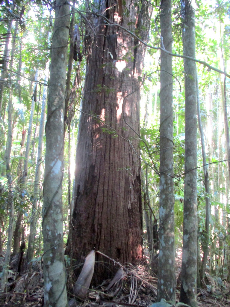 Huge tree inthe forest at Mapleton by 777margo