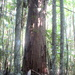 Huge tree inthe forest at Mapleton