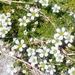 Small White Wildflowers