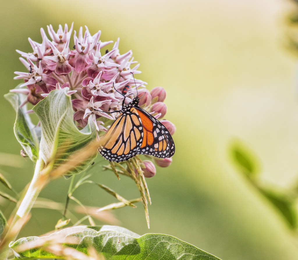 milkweed and monarch by aecasey