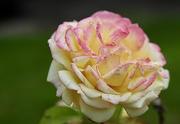 7th Jul 2020 - Village Rose