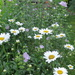 Daisies and Mallow