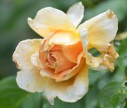 8th Jul 2020 - Golden Rose