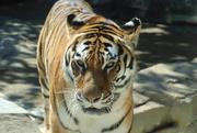 7th Jul 2020 - Amur Tiger