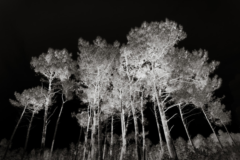 Cotton Candy Pines... by vignouse