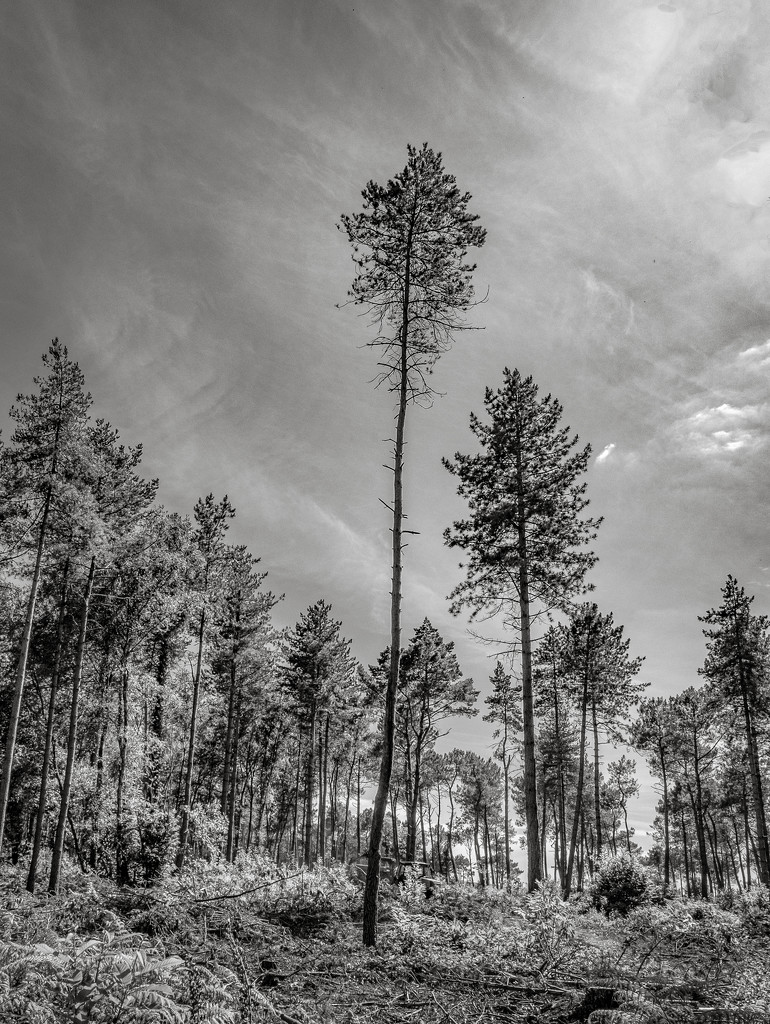 Lonesome Pines by vignouse