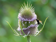 8th Jul 2020 - Flowering teasel