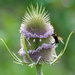 Flowering teasel by rumpelstiltskin