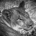 Lonely Lioness by zambianlass