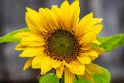 8th Jul 2020 - Rain Flower