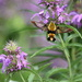 Bee Balm - It's Not Just For Bees