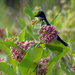 eastern kingbird and common milkweed
