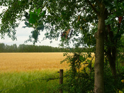 9th Jul 2020 - golden barley
