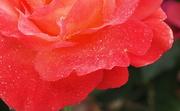 8th Jul 2020 - Rose Petals