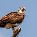 Osprey Mom Watching Out for the Baby!