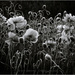 Idaho Poppies by aikiuser