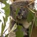 Koala Kindy - meet Khanum