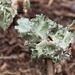 Perforated Ruffle Lichen...