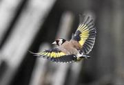 8th Jul 2020 - Goldfinch flash