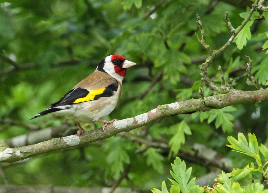 Goldfinch by bybri