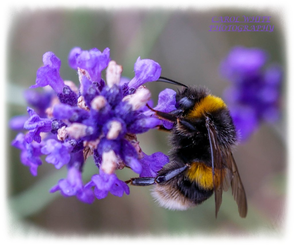 White-tailed Bumble Bee and Lavender by carolmw