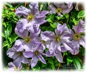 9th Jul 2020 - Clematis