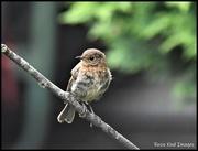 9th Jul 2020 - RK3_0883 Baby robin