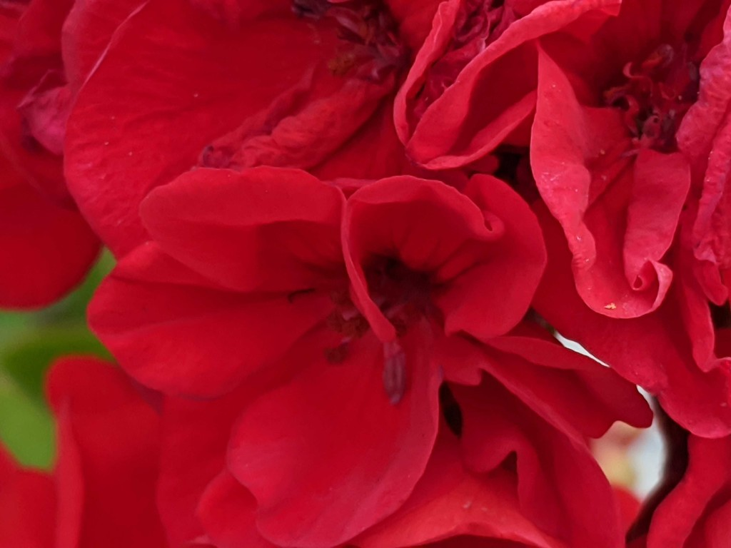 Red Geranium by gq