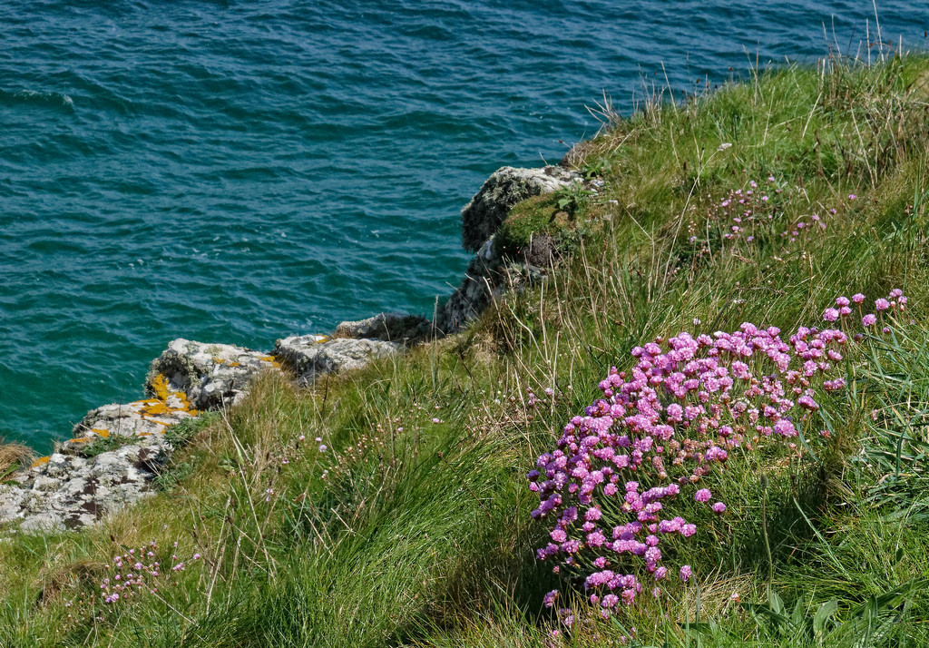 0708 - Thrift on the cliff tops by bob65