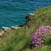 0708 - Thrift on the cliff tops
