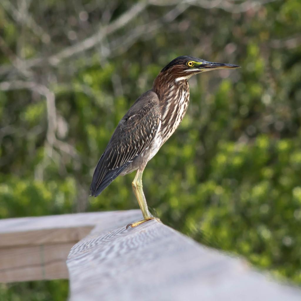 Green Heron  by dutchothotmailcom