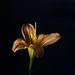 Orange Lily by 365projectmalh3