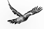 9th Jul 2020 - Black and White Pigeon