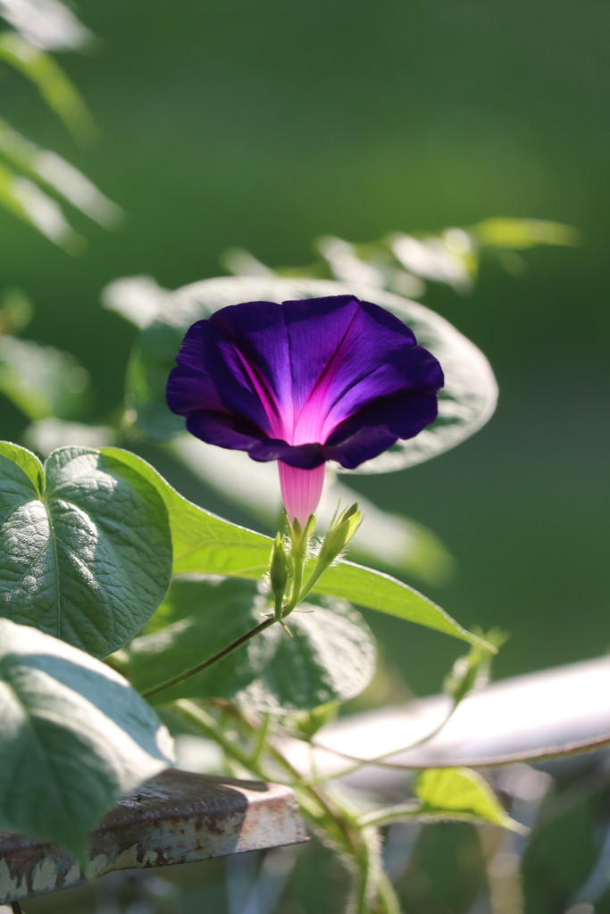 July 6: Morning Glory by daisymiller