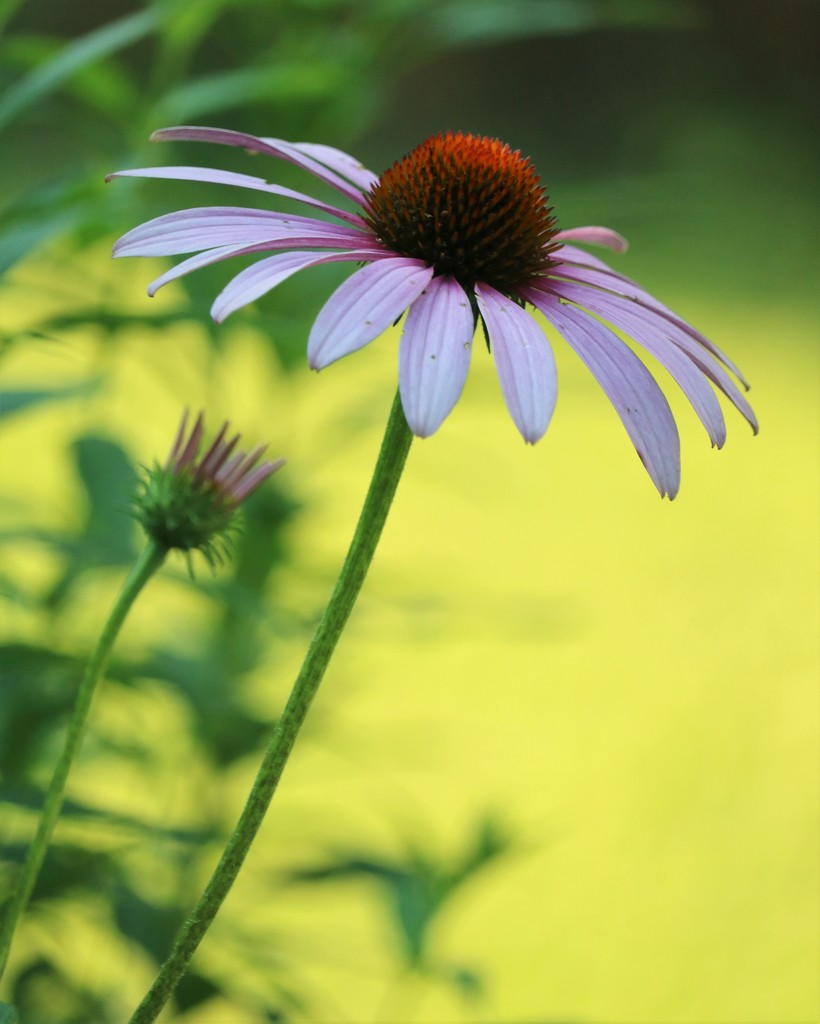 July 7: Cone Flower by daisymiller