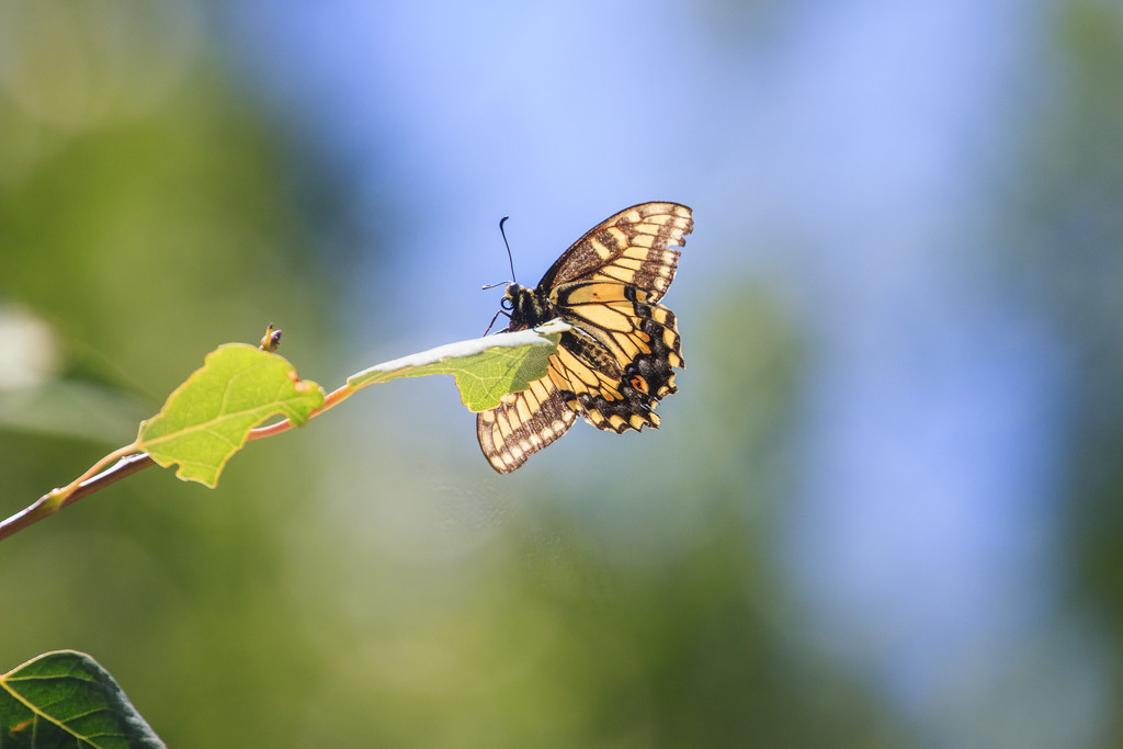 battered swallowtail by aecasey