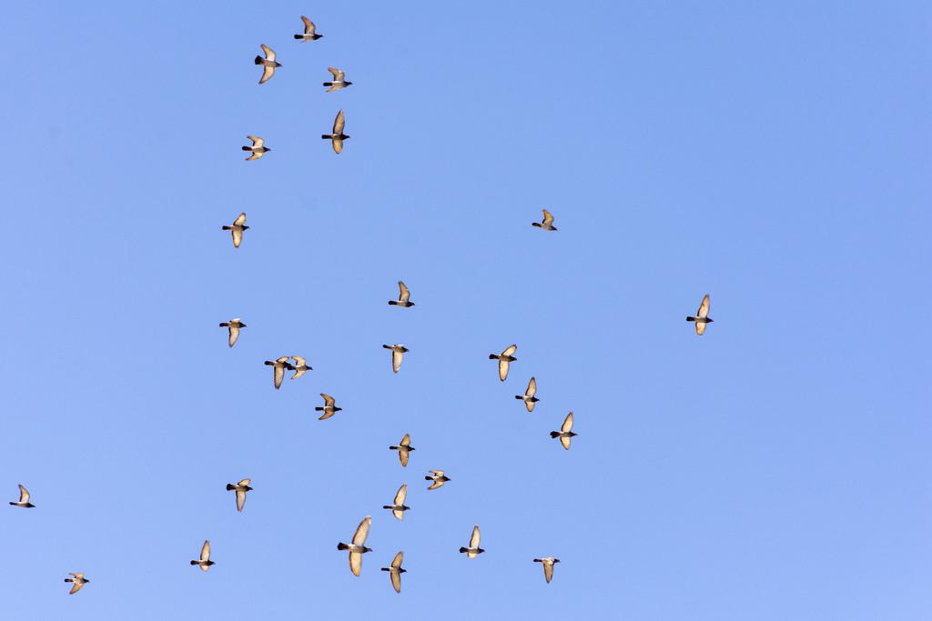 Pigeons by nickspicsnz