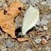 Veined Mustard White, Pieris napi oleracea