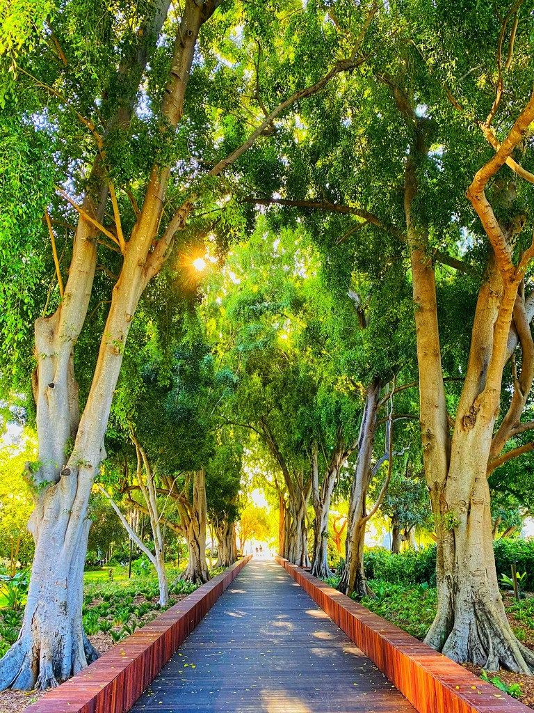 Weeping Fig Avenue by corymbia