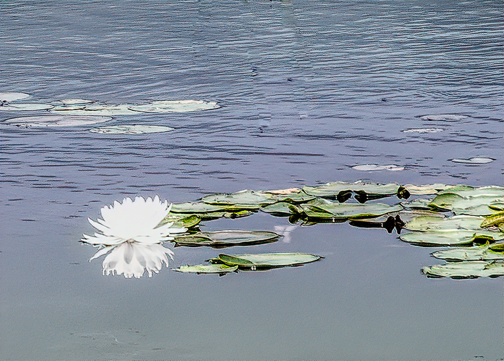 Water Lily Again by joansmor
