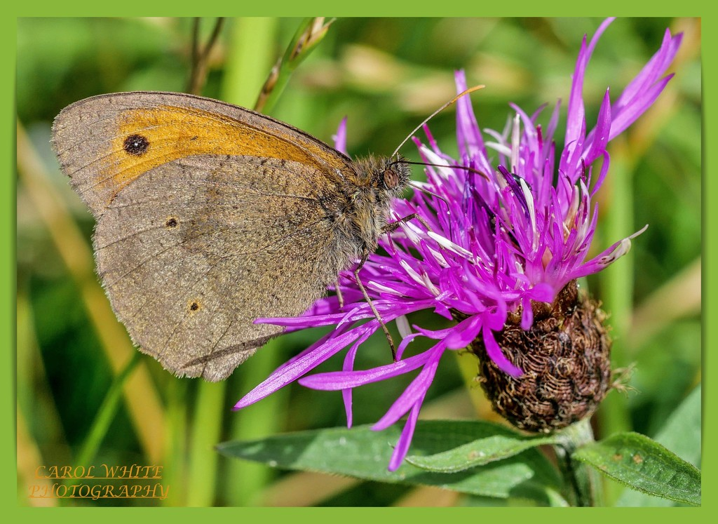 Meadow Brown Butterfly by carolmw
