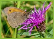 10th Jul 2020 - Meadow Brown Butterfly