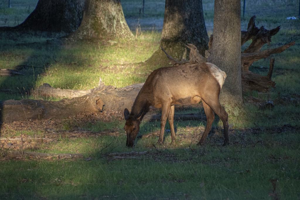 US Army Elk by timerskine